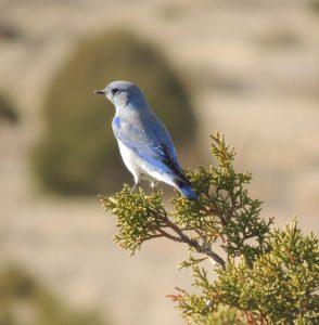Andrea's bluebird