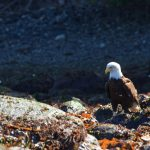 Panorama of Eagle on Rocky Shoreline in British Columbia